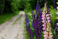 A Walk in the Lupins